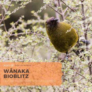 Wānaka BioBlitz